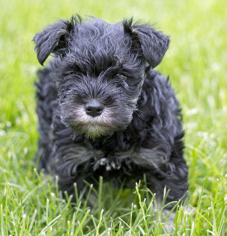Buttercup the Miniature Schnauzer Pictures 1018880
