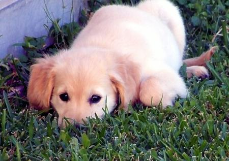 Butters the Golden Retriever Pictures 947421