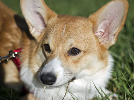 Butters the Pembroke Welsh Corgi Pictures 905959