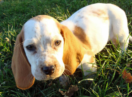 Butterscotch the Basset Hound Pictures 827920