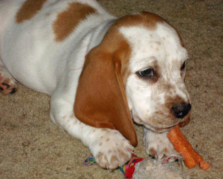 Butterscotch the Basset Hound Pictures 827921