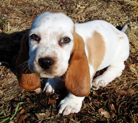 Butterscotch the Basset Hound Pictures 827923