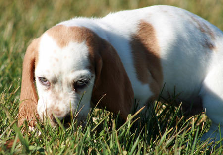 Butterscotch the Basset Hound Pictures 827924
