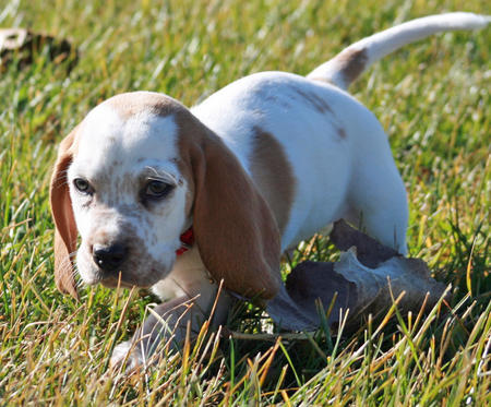 Butterscotch the Basset Hound Pictures 827925
