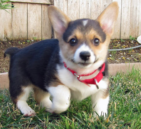 Buzi the Pembroke Welsh Corgi Pictures 1054783