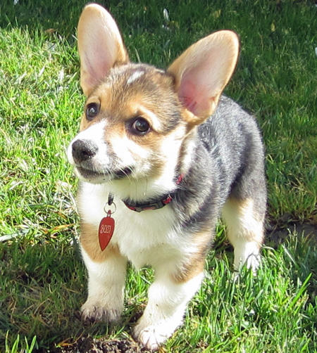 Buzi the Pembroke Welsh Corgi Pictures 1054785