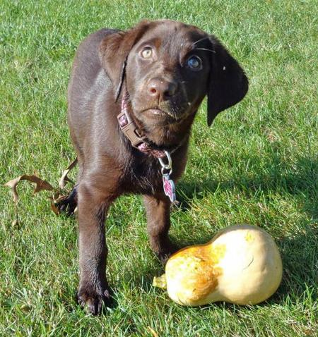 Cabell the Labrador Retriever Pictures 951666