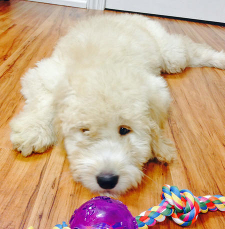 Cabo the Goldendoodle Pictures 995906