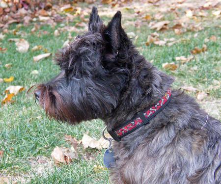 Caesar the Cairn Terrier Pictures 1054313