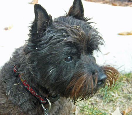 Caesar the Cairn Terrier Pictures 1054314