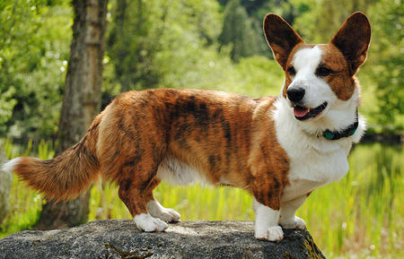 Caleb the Cardigan Welsh Corgi Pictures 725339