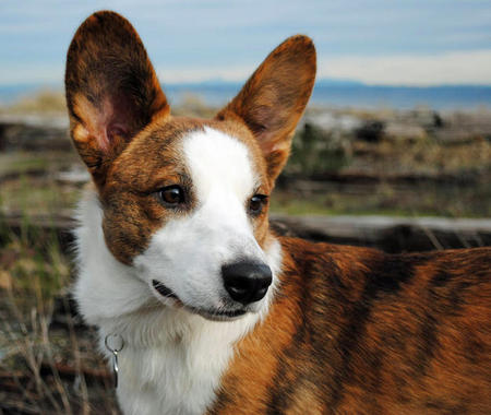 Caleb the Cardigan Welsh Corgi Pictures 725342