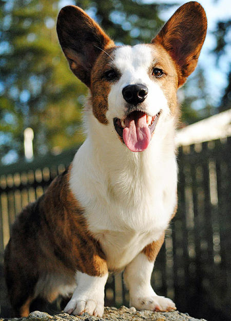 Caleb the Cardigan Welsh Corgi Pictures 725344
