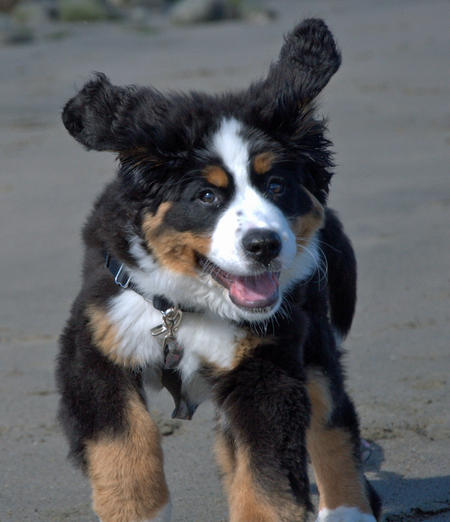 Cali the Bernese Mountain Dog Pictures 743716