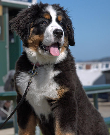 Cali the Bernese Mountain Dog Pictures 743720
