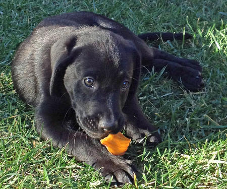 Cali the Labrador Retriever Pictures 871943