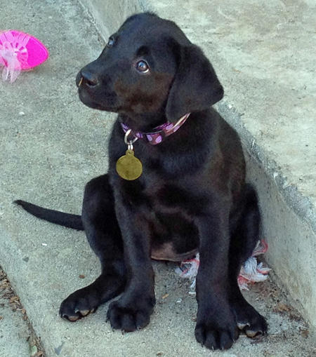 Cali the Labrador Retriever Pictures 871945