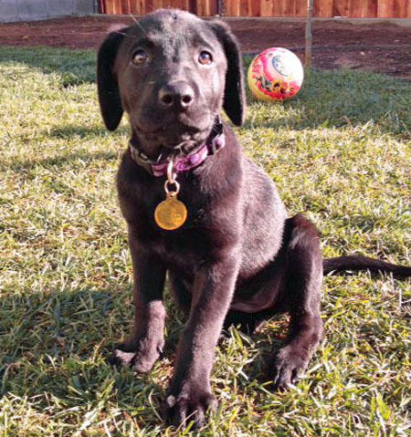 Cali the Labrador Retriever Pictures 871949