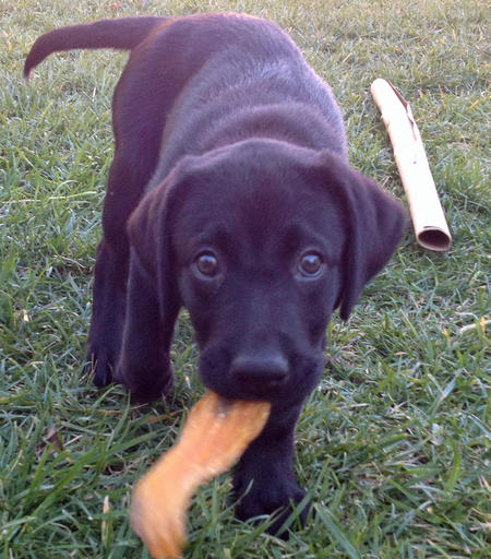 Cali the Labrador Retriever Pictures 871947