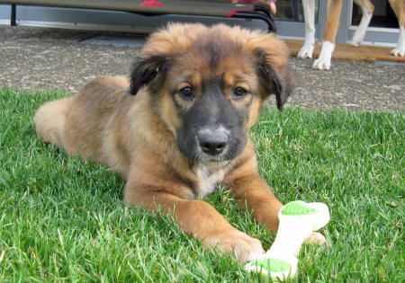 Callie Ruth the Shepherd Mix Pictures 850077
