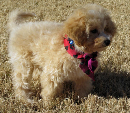 Callie the Toy Poodle Pictures 1050154