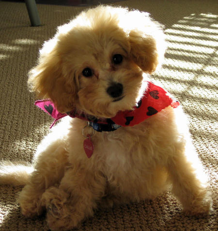 Callie the Toy Poodle Pictures 1050156