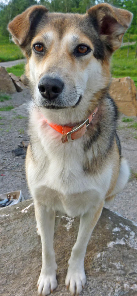 Callista the Siberian Husky Mix Pictures 646187