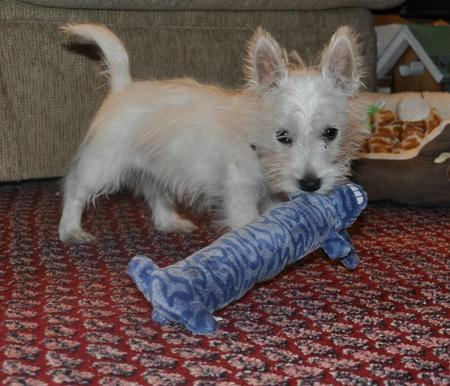 Callum the West Highland White Terrier Pictures 887701