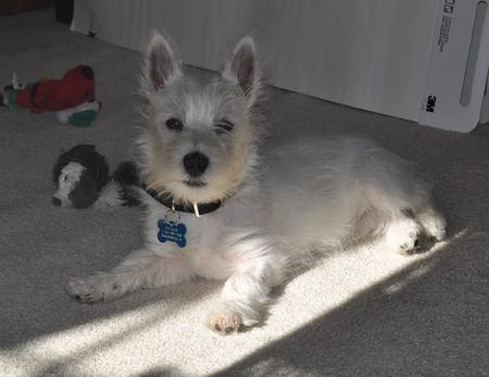 Callum the West Highland White Terrier Pictures 887702