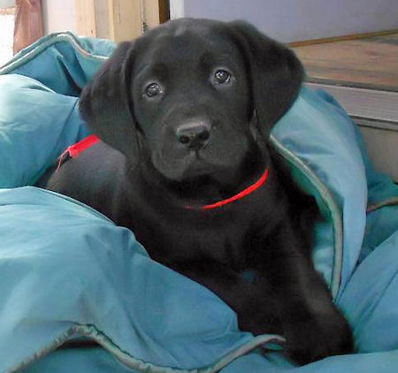 Calvin the Labrador Retriever Pictures 972119