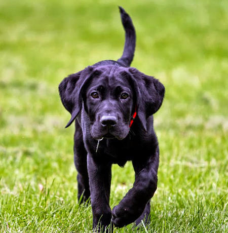 Calvin the Labrador Retriever Pictures 711086
