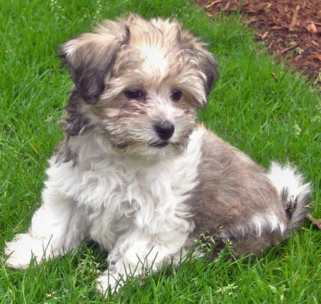 Camellia the Havanese Pictures 605336