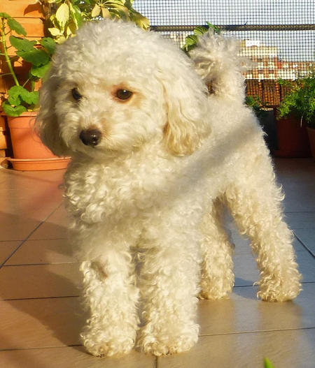 Camila the Toy Poodle Pictures 1045444