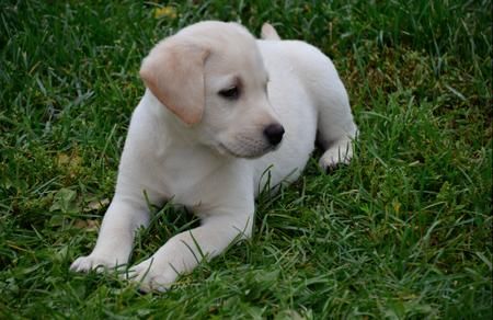 Camo the Labrador Retriever Pictures 943648