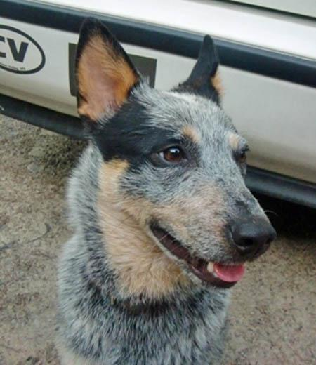 Canaan the Australian Cattle Dog Pictures 977822