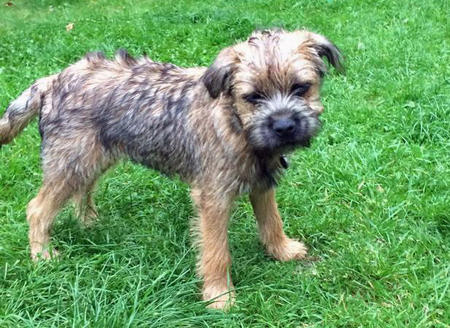Captain Hastings the Border Terrier Pictures 1019595