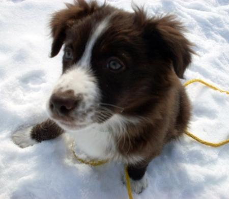 Cara the Australian Shepherd Pictures 701794