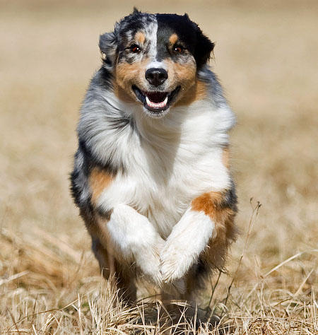 Carme the Australian Shepherd Pictures 620554
