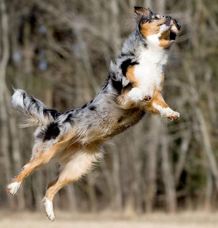 Carme the Australian Shepherd Pictures 620555