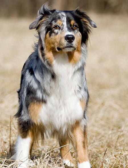 Carme the Australian Shepherd Pictures 620557