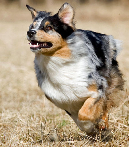 Carme the Australian Shepherd Pictures 620560