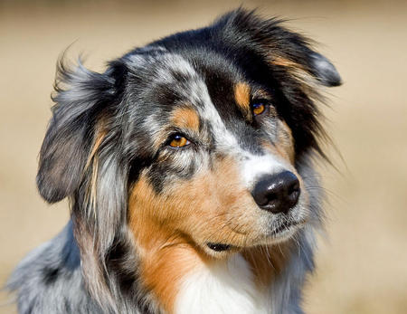 Carme the Australian Shepherd Pictures 620553
