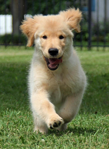 Carter the Golden Retriever Pictures 980800