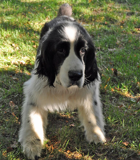 Casey the English Springer Spaniel Pictures 682391