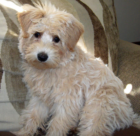 Casey the Labradoodle Pictures 787877