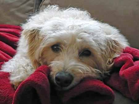 Casey the Labradoodle Pictures 787879