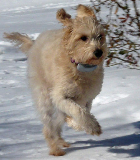 Casey the Labradoodle Pictures 787875