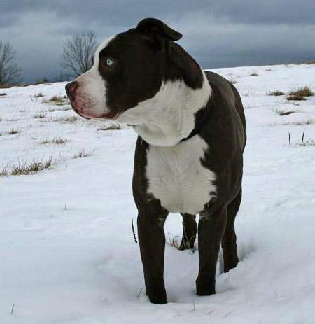 Chocolate Staffordshire Terrier