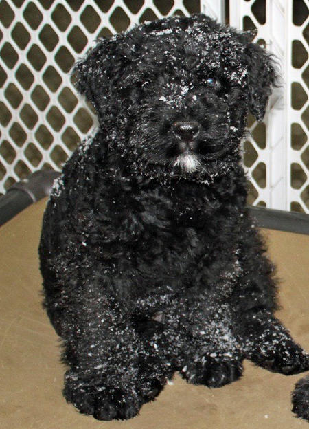 Cash the Bouvier des Flandres Pictures 1049815