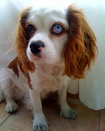 Cashew the Cavalier King Charles Spaniel Pictures 828133